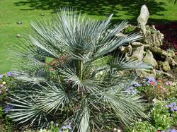 chamaerops humilis chamaerops humilis est l une des deux seules esp ces de palmiers natifs d. Black Bedroom Furniture Sets. Home Design Ideas
