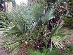 Nannorrhops ritchieana un palmier des montagnes d 39 afganistant capable de survivre des - Palmier resistant au froid ...