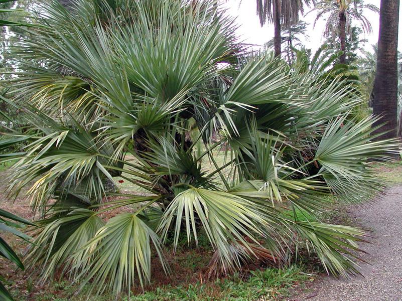 Nannorrhops ritchieana2 - Palmier resistant au froid ...