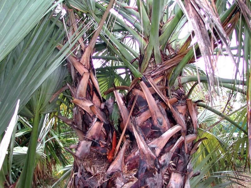 Nannorrhops ritchieana3 for Cactus exterieur resistant au froid