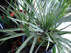 Palmiers cultiv s en bac pour l int rieur et l ext rieur for Maladie palmier interieur