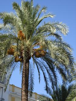 Parasites et maladies des palmiers parasites et maladies for Maladie palmier interieur