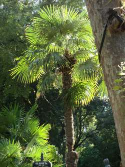 plantation des palmiers choix de l 39 emplacement et de l 39 exposition culture jardinage. Black Bedroom Furniture Sets. Home Design Ideas