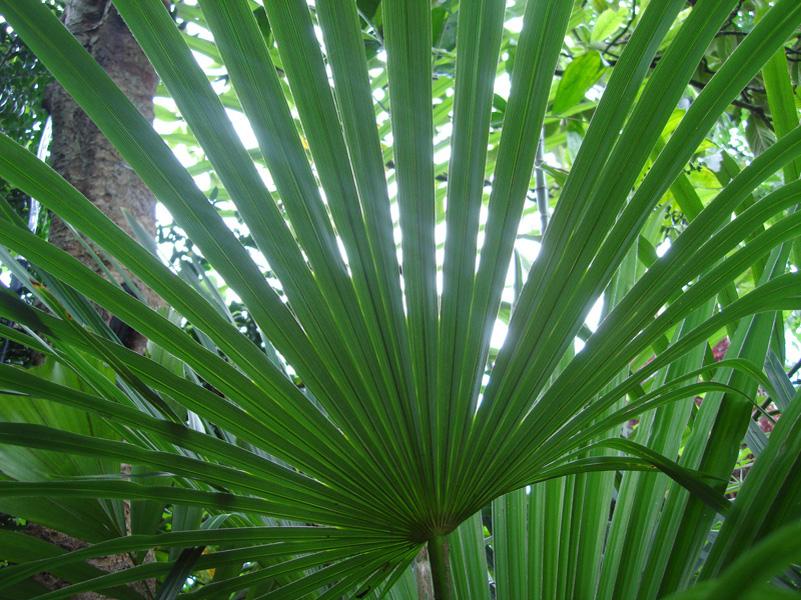 Trachycarpus fortunei5 - Palmier resistant au froid ...