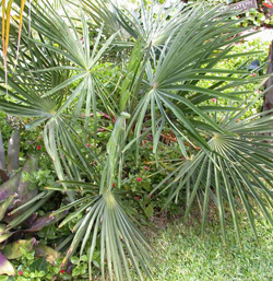 trachycarpus nanus le palmier nain du yunnan trachycarpus nanus asie dioique chine 15c palm e. Black Bedroom Furniture Sets. Home Design Ideas