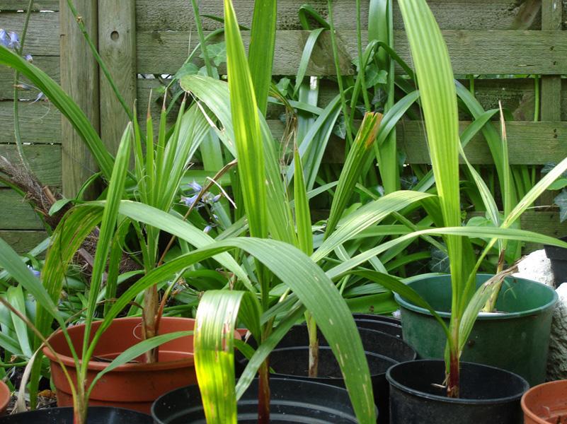 Washingtonia filifera7 - Palmier resistant au froid ...